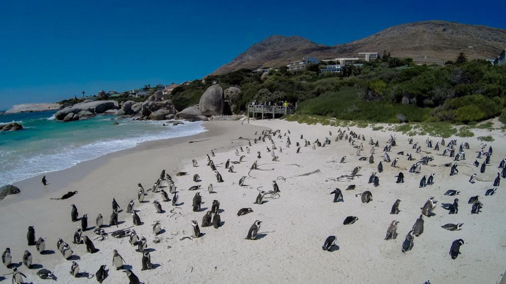 Penguins on Boulders Beach, Simonstown along the Cape Peninsula