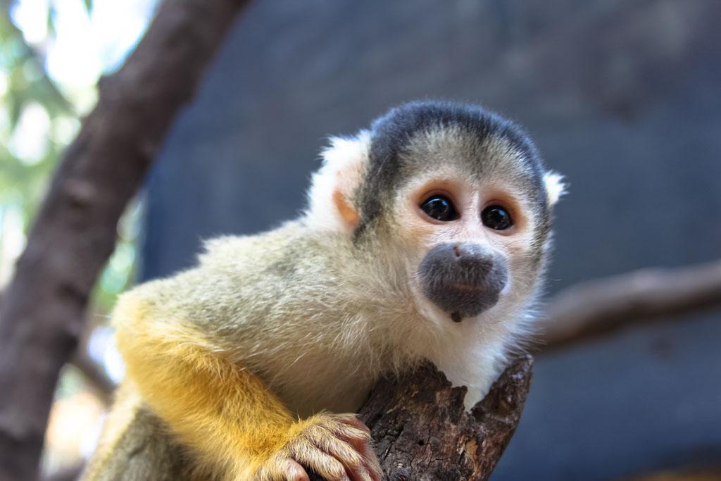 Monkey in Cape Town