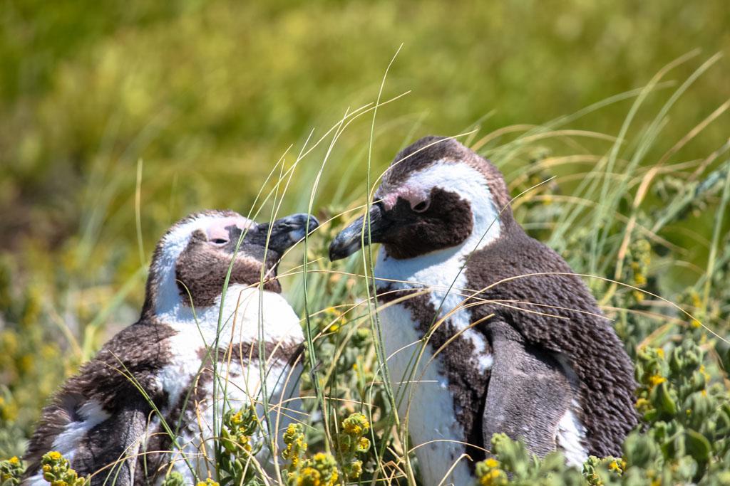 Penguins on Boulders Beach in Simon's Town near Cape Town