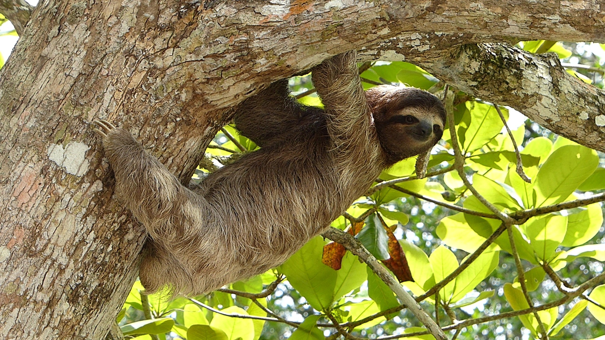 Sloth in Corcovado National Park Osa Peninsula