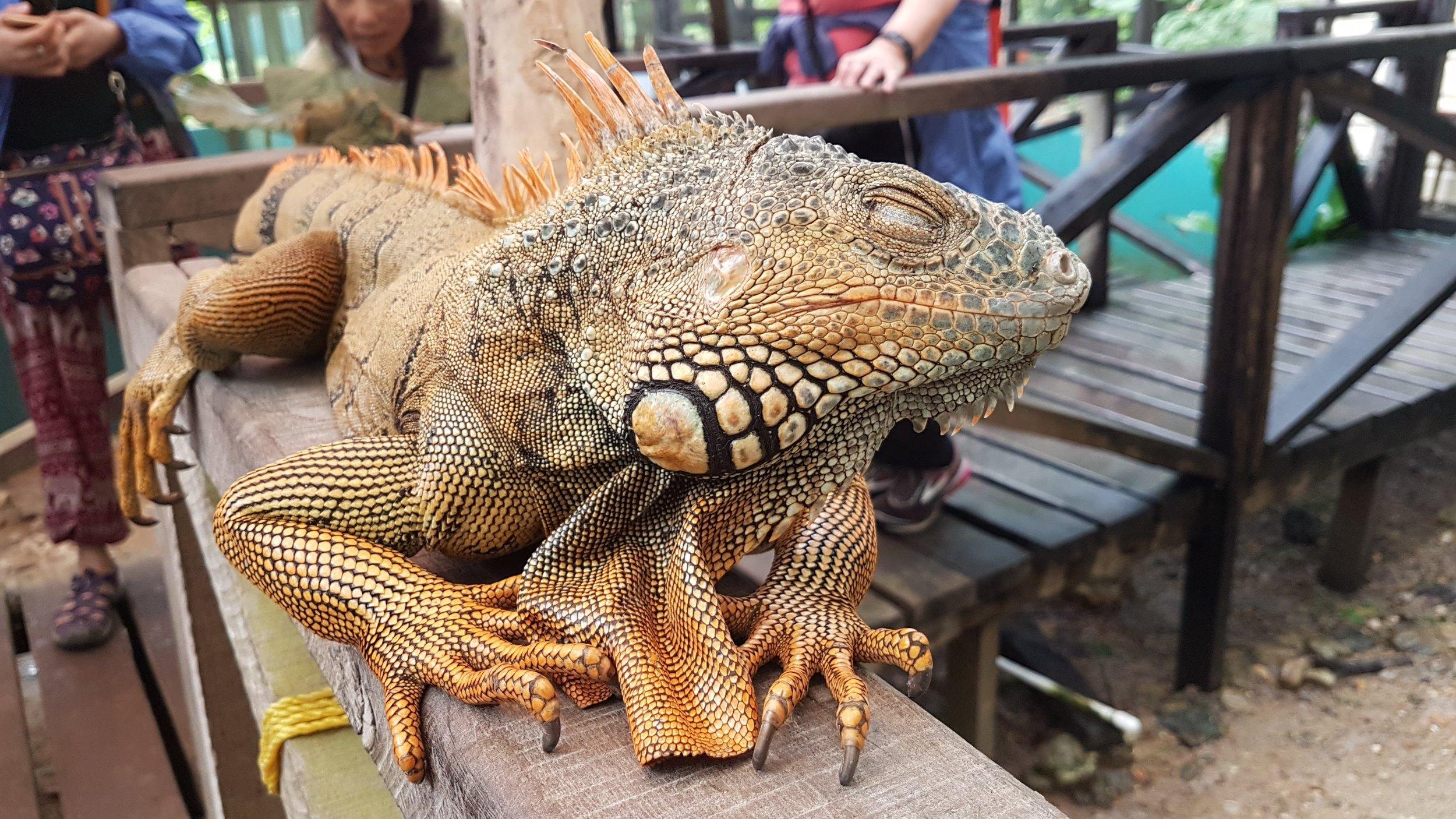 Travel to Belize - San Ignacio Green Iguana