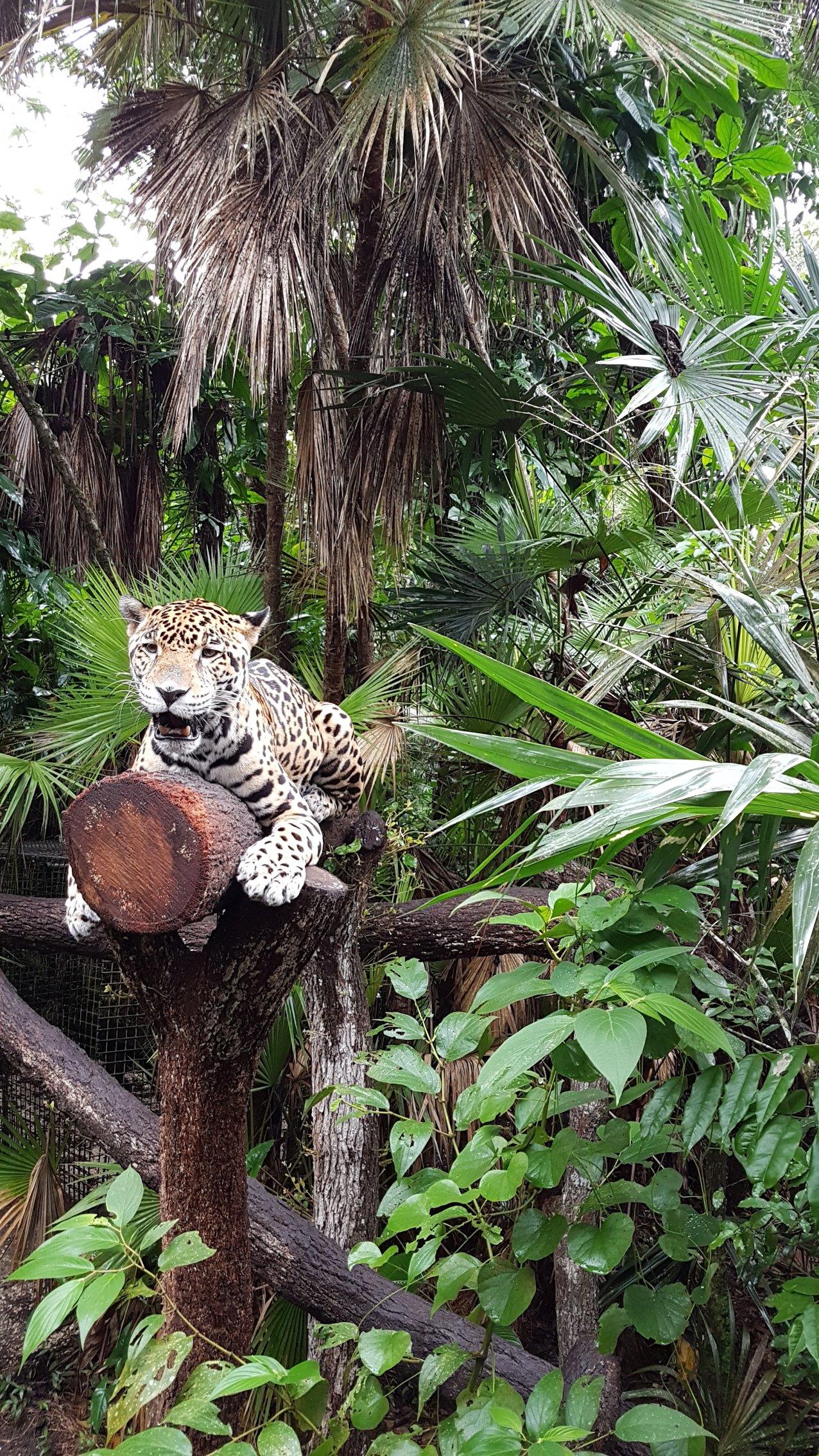 Junior Buddy the jaguar at Belize Zoo