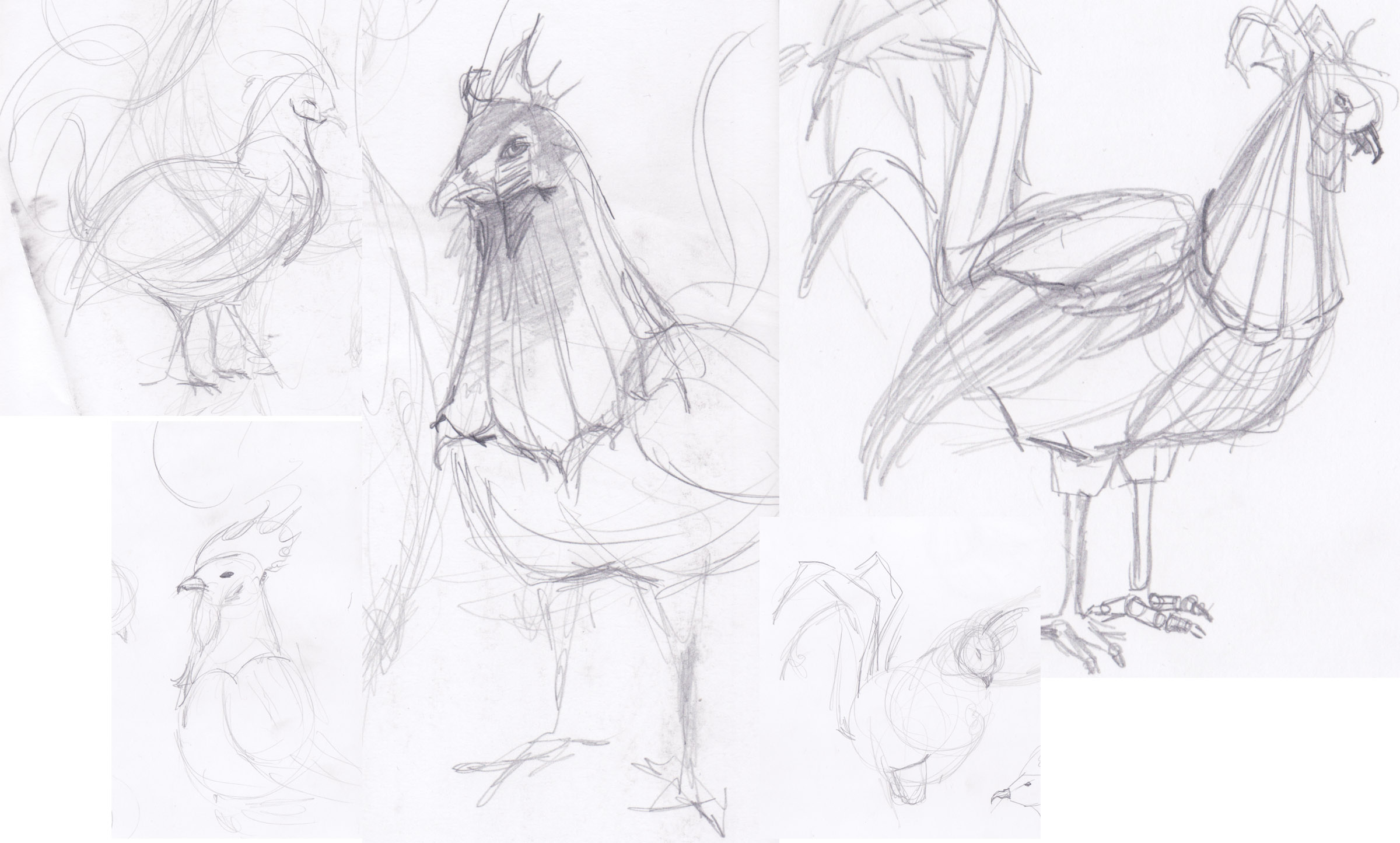 sketches of the rooster