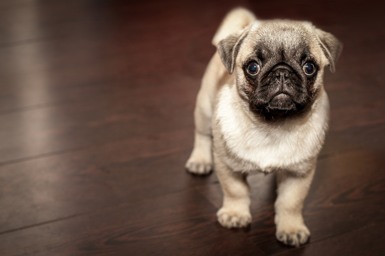 pug puppy.jpg