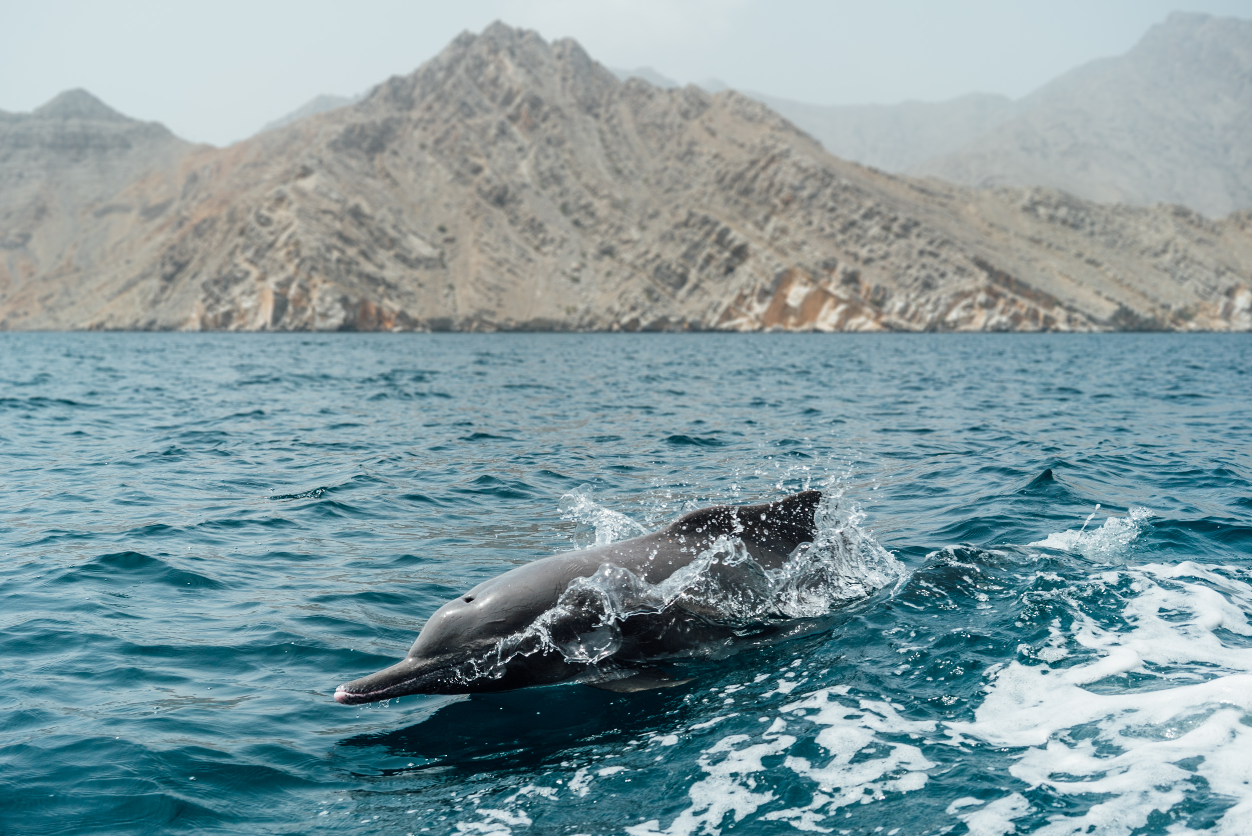 photo-oman-dolphin-Diana-Scalfati.jpg
