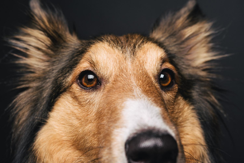 Pfotentick Hundefotografie Studio Shooting Clooney