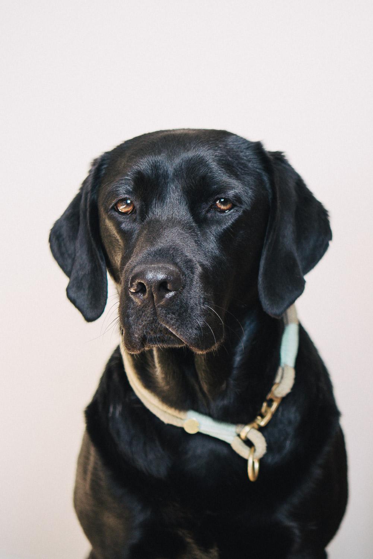 Pfotentick Labrador Summer mit TauStil Halsband