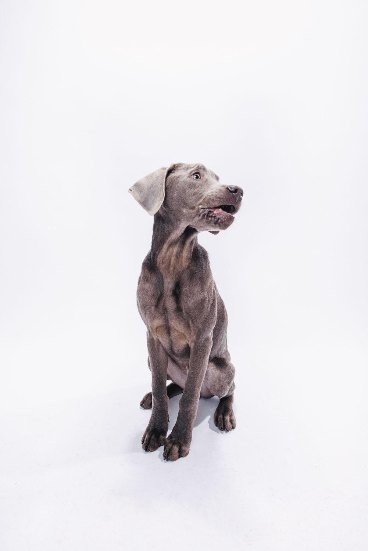 Pfotentick Hundefotografie Studio Shooting Sam Labrador Retriever