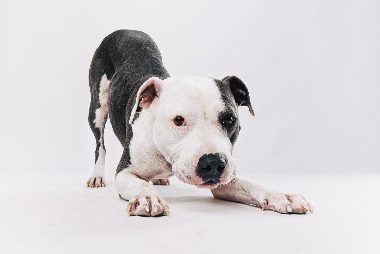 Pfotentick Fotoshooting American Staffordshire Terrier Cleo