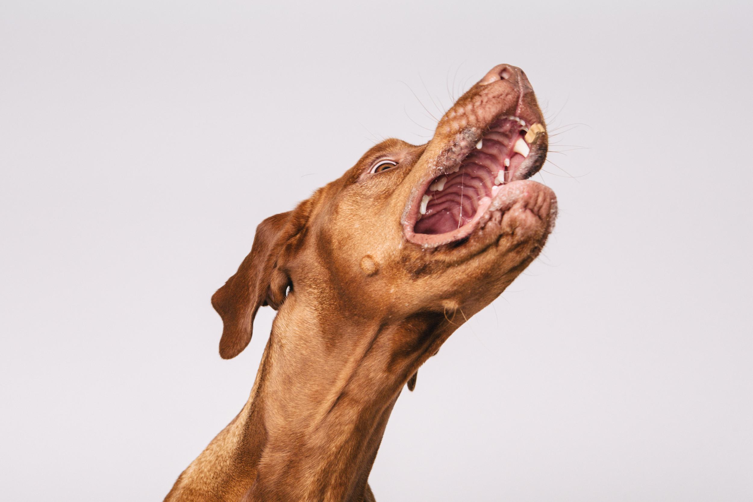 Vizsla Pan Pfotentick Fotoshooting Hundefotografie Schnappschuss