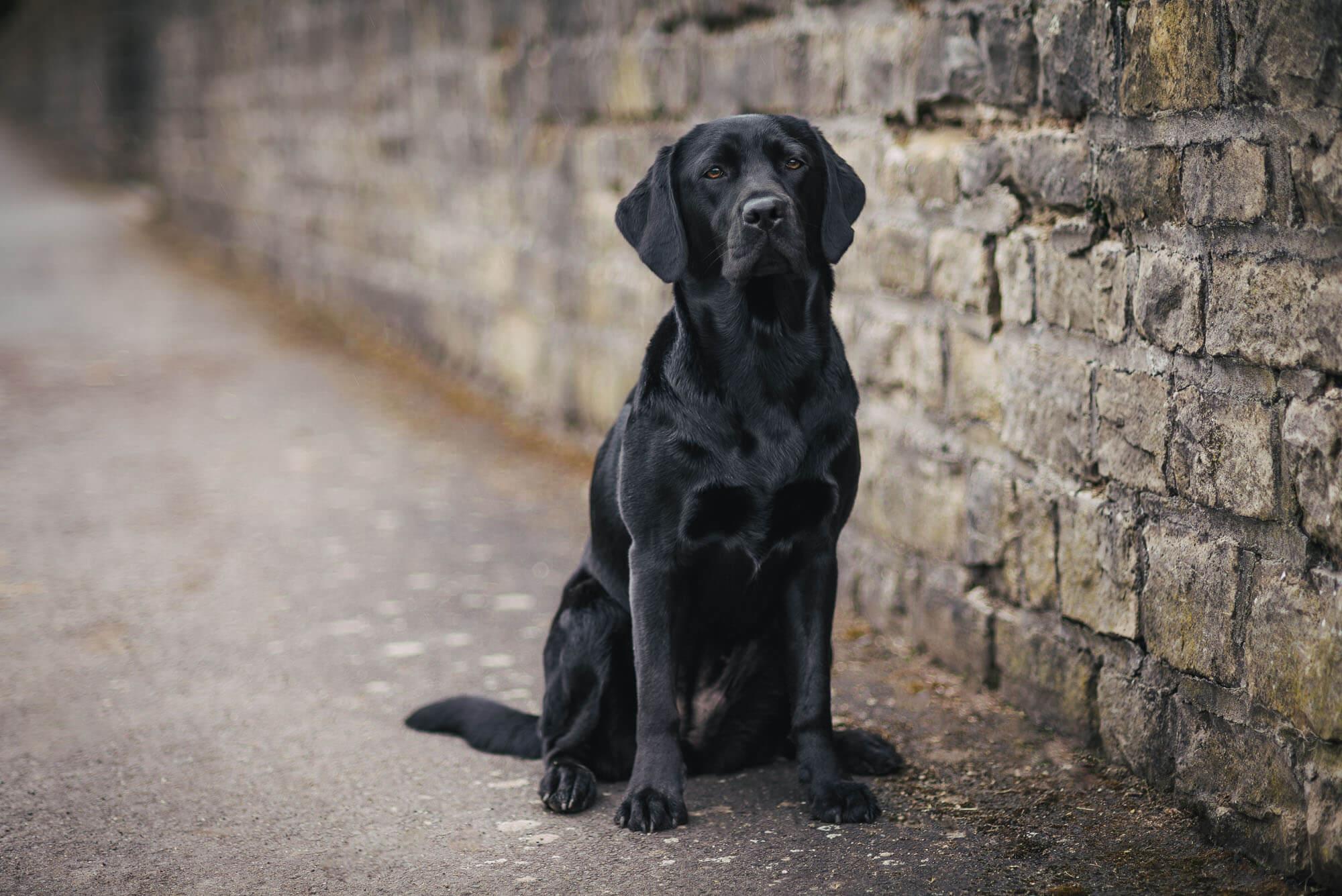 schwarzer-labrador-vor-einer-grauen-mauer-bearbeitet.jpg