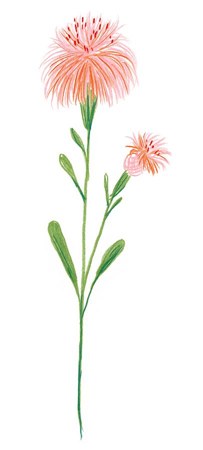 Basketflower_1.jpg