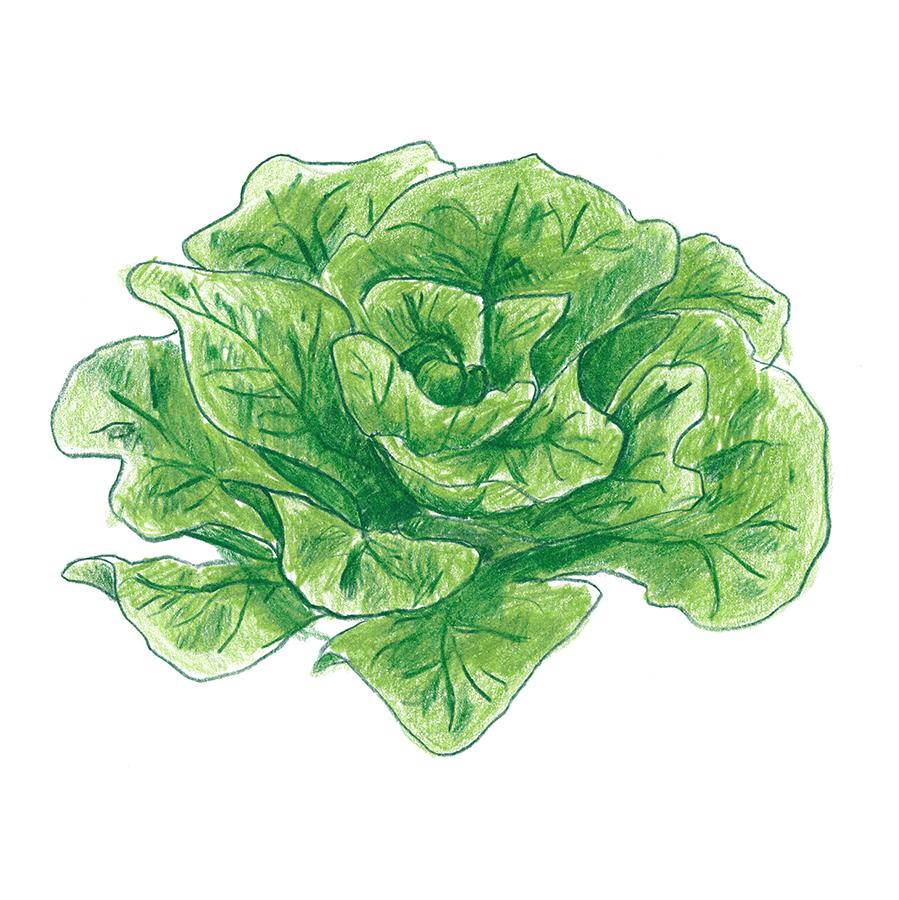 Lettuce_1.jpg