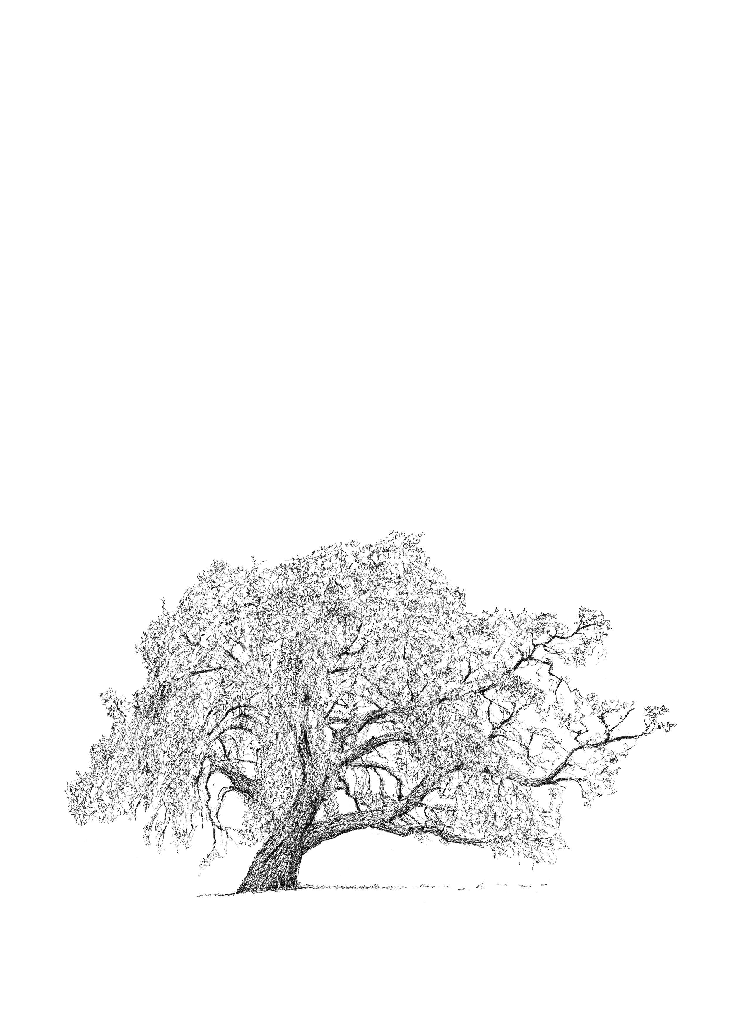 OSTERLEY PARK CORK OAK- LUKE ADAM HAWKER-low res.jpg