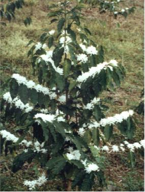 coffee-tree-in-bloom