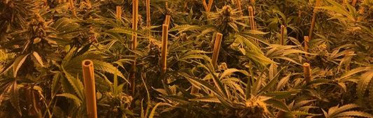 Pioneer-Nuggets-cannabis.jpg