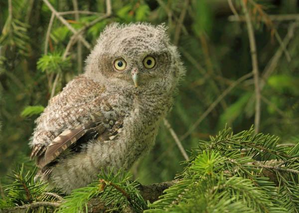 Screech Owlet