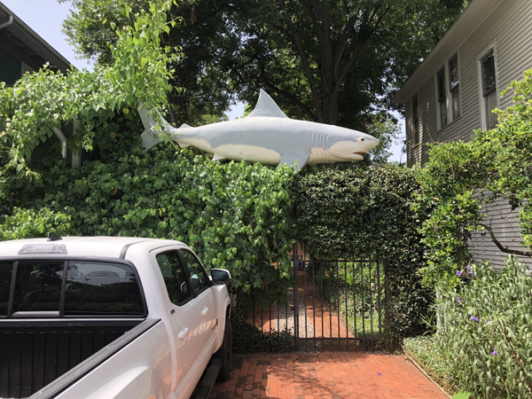 The shark that gave Yard Sharks its name.