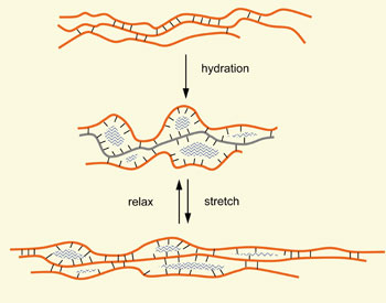 """Creating Noodle Elasticity. As the Royal Society of Chemistry explains, """"as mechanical work stretches the dough, more hydrogen bonds (black) can form between chains of gluten subunits (orange)."""" Great article on the chemistry here: http://www.rsc.org/chemistryworld/Issues/2009/October/Ontherise.asp."""