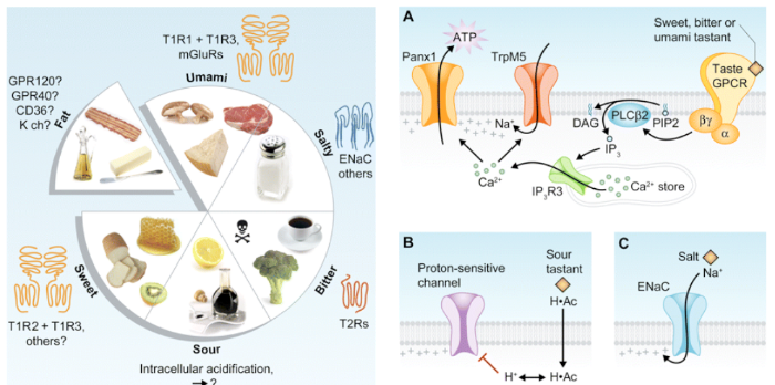 Signaling Pathways.   The basic tastes and their associated cellular protein receptors (left).  The mechanisms by which the five basic tastes operate in taste cells (right).  Excellent and detailed explanations of both figures here: http://jcb.rupress.org/content/190/3/285.full.