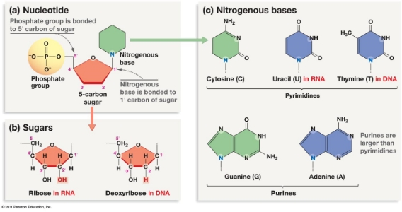 Nucleotides.  Phosphate connected to sugar connected to base. Nucleotides are responsible for umami synergy. http://www.uic.edu/classes/bios/bios100/lectures/dna.htm
