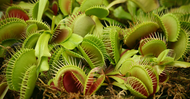 Venus Flytraps.   Well, not  this  kind of venus flytrap.  Conservatory of Flowers, GG Park.  Photo: Ramen Chemistry.