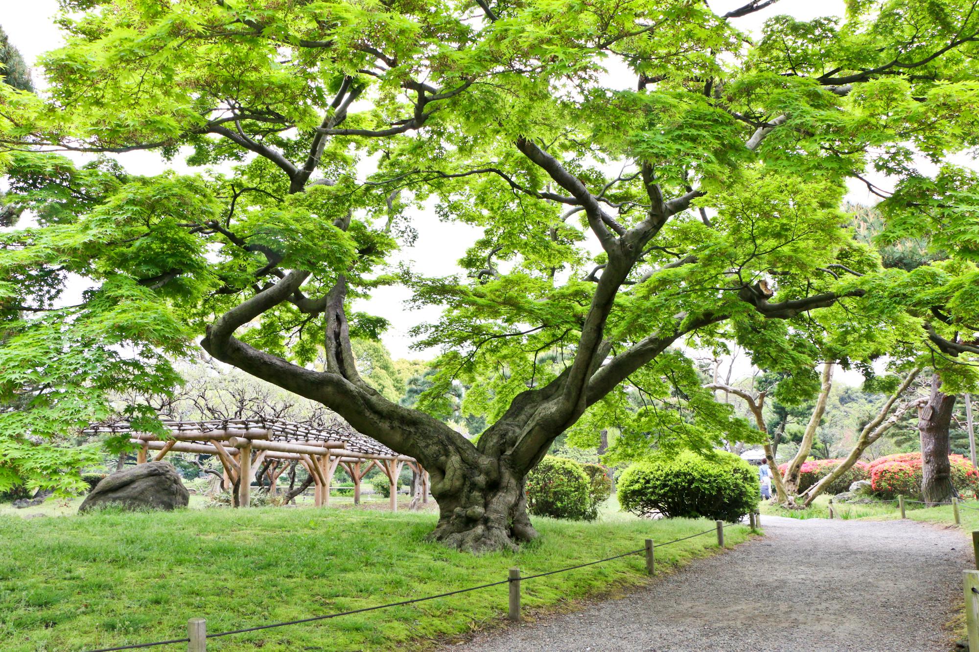 "Japanese Maple (""Momiji""), Hama-rikyu Gardens, Tokyo"