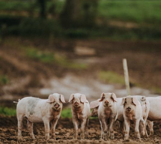 PIPERS FARM pigs Matt Austin.jpg