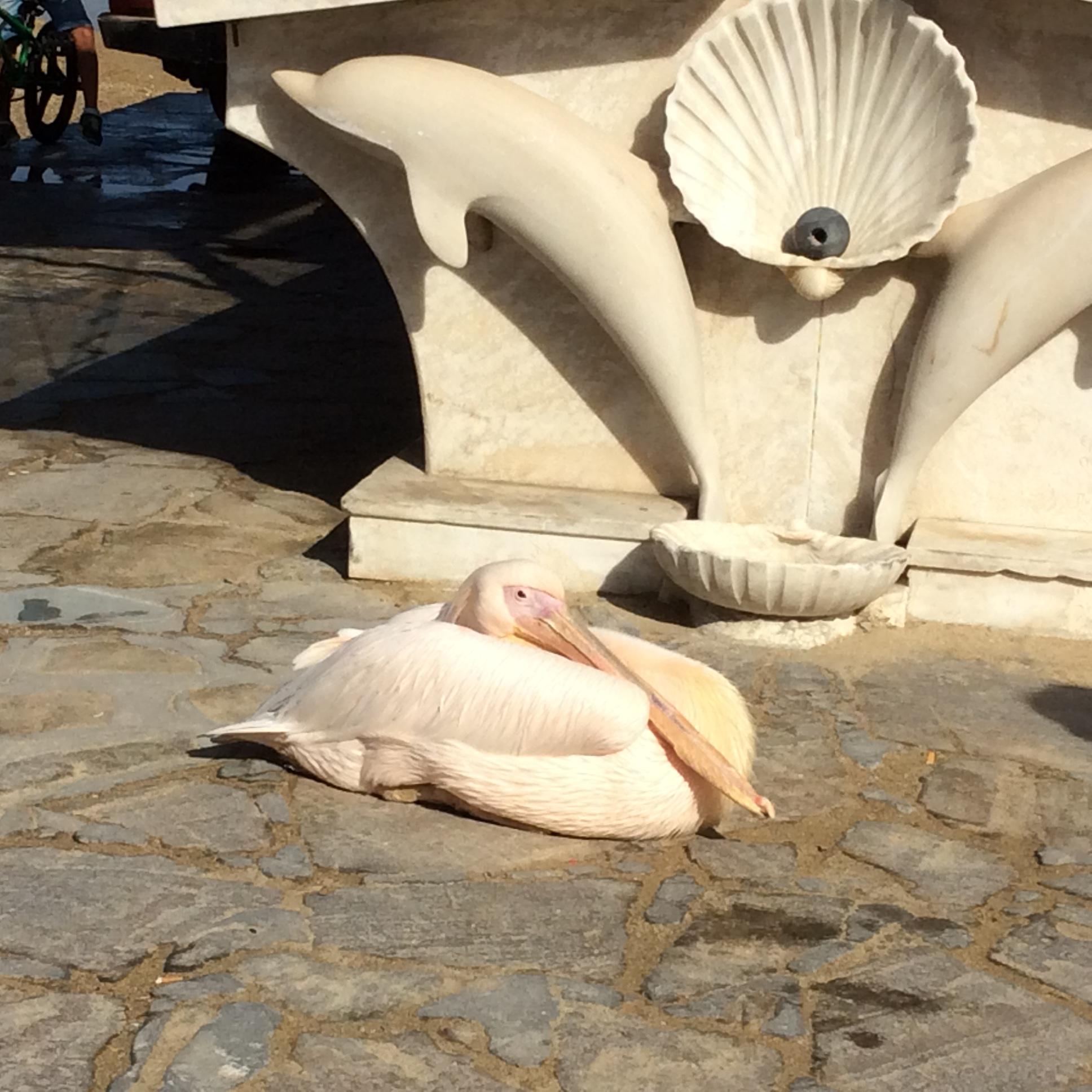 Pelican in Mykonos.JPG