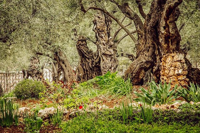 The Garden of Gethsemane, located at the foot of the Mount of Olives in Jerusalem ✨ #jerusalem #mountofolives #gardenofgethsemane