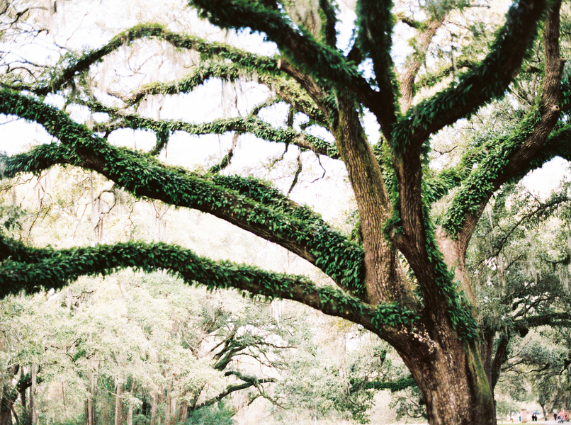 Oak trees and Spanish moss at Charleston, SC Wedding Venue McLeod Plantation