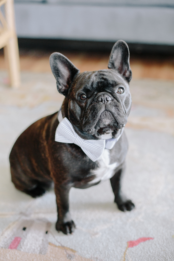 French Bulldog wearing a blue seersucker bow tie for wedding in Charleston SC