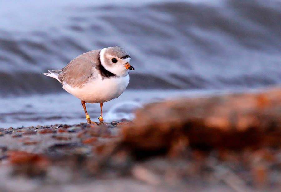 apostle islands piping plover.jpg