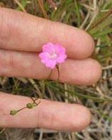 Sand-plain Gerardia (Agalinis acuta)