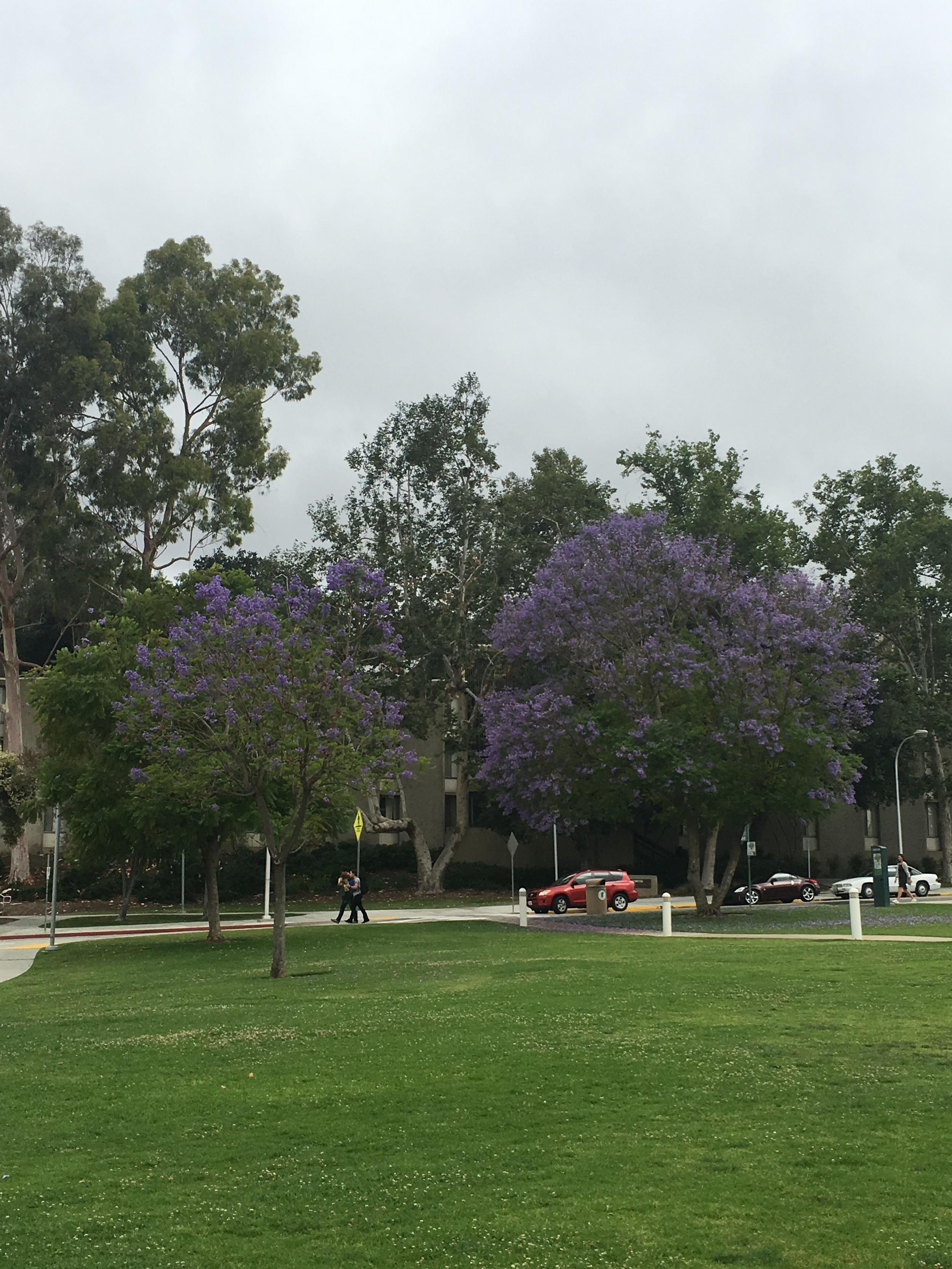 Jacarandas in bloom all around campus!
