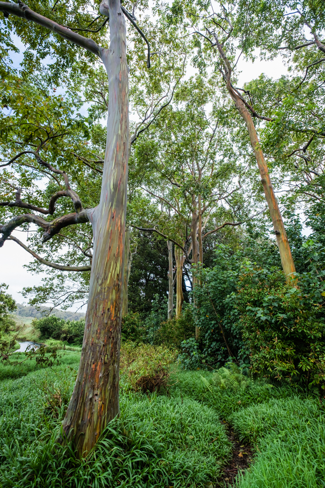 rainbow eucalyptus maui hawaii road to hana