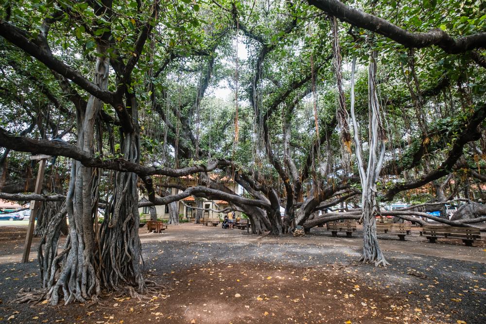 banyan tree lahaina maui hawaii