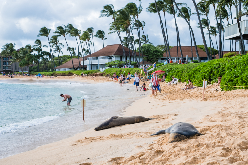sheraton resort hawaii monk seal