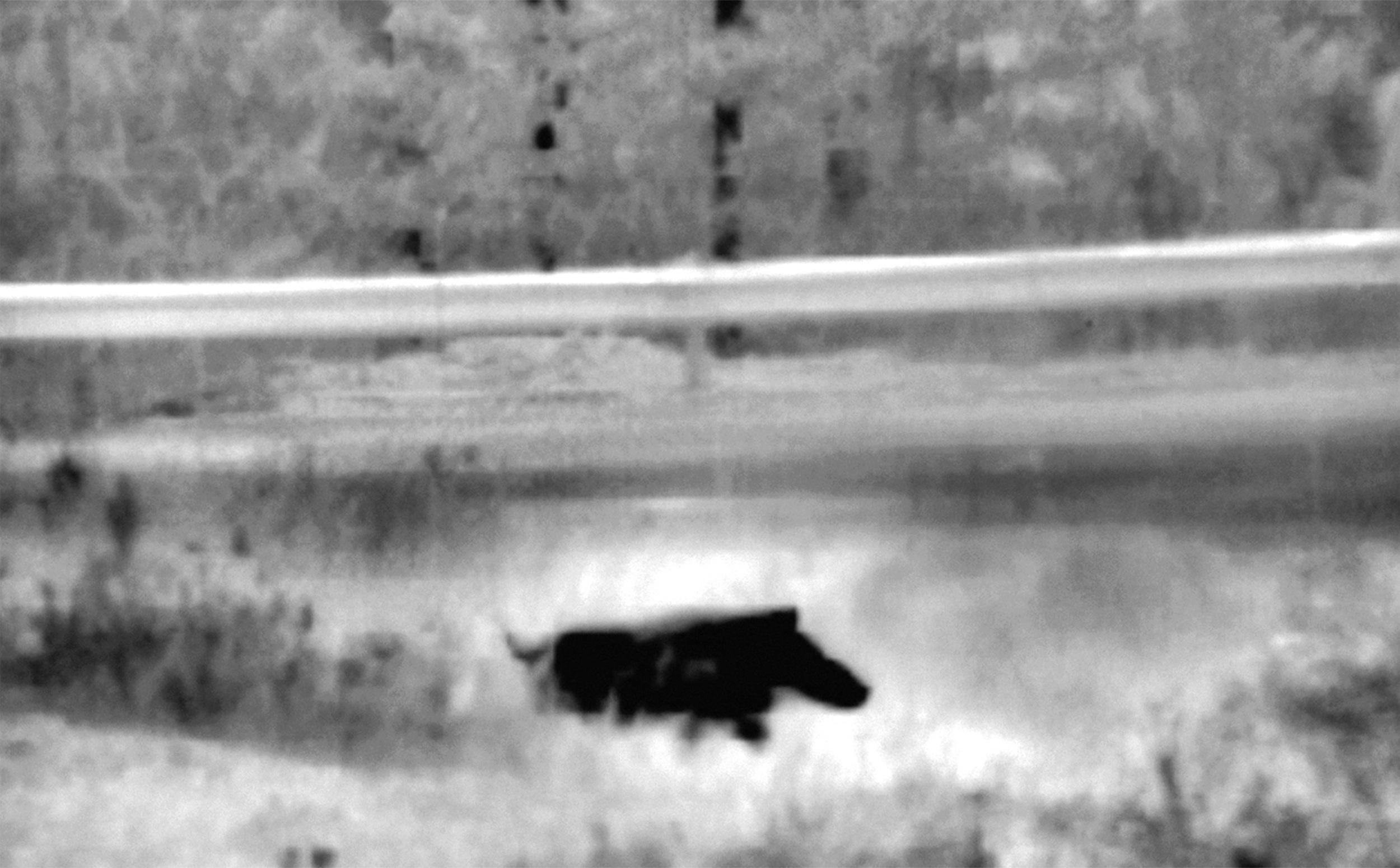 Wild boar, خنزير بري, בר חזיר .jpg
