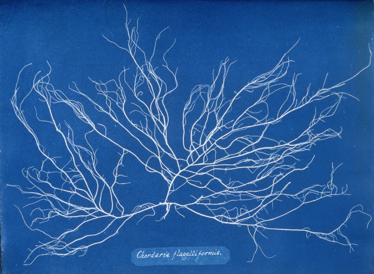 Page from   Photographs of British Algae  (1843) by Anna Atkins (courtesy the   New York Public Library  )