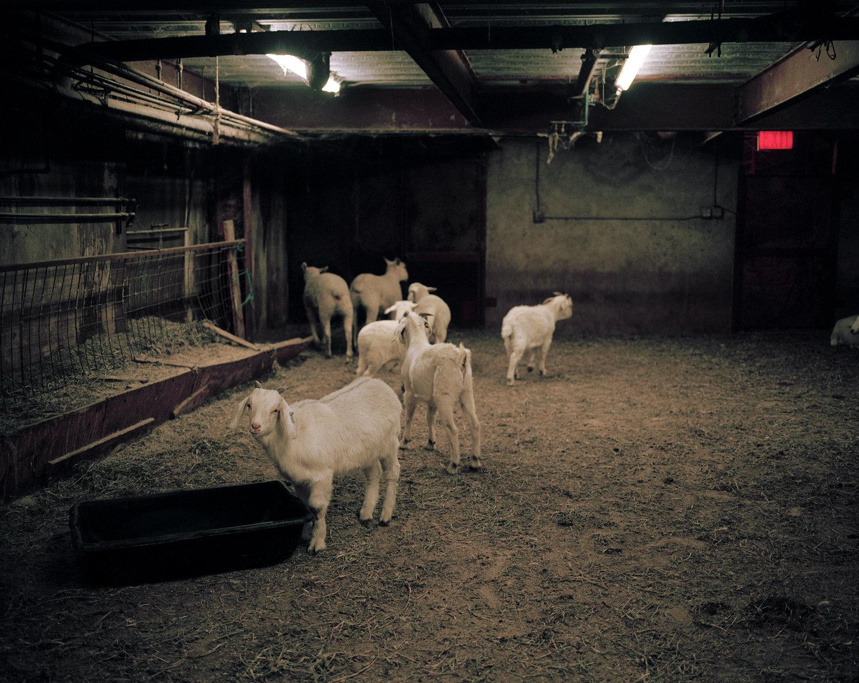 09_goats_01.jpg