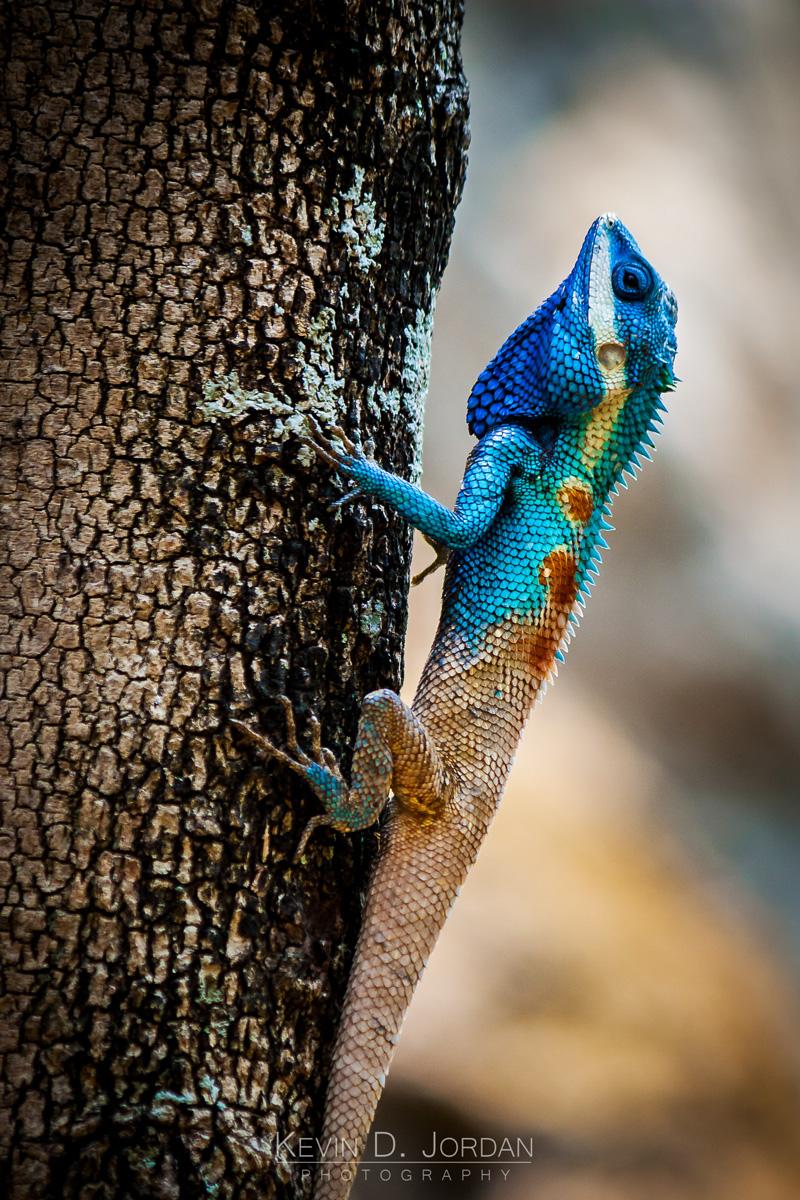 Blue-Crested Lizard