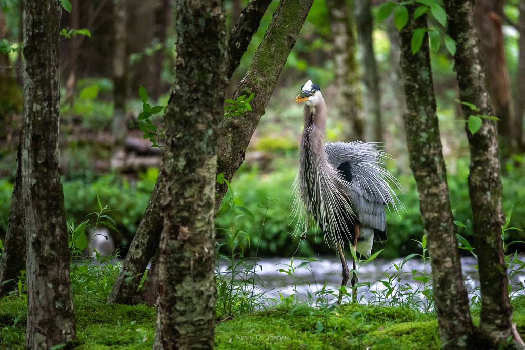 A great blue heron stalks the banks of a shallow river in Great Smoky Mountains National Park in search of fish (© Kevin D. Jordan Photography)