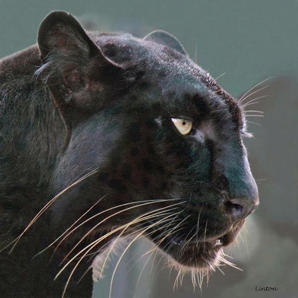 jaguar pic.jpg