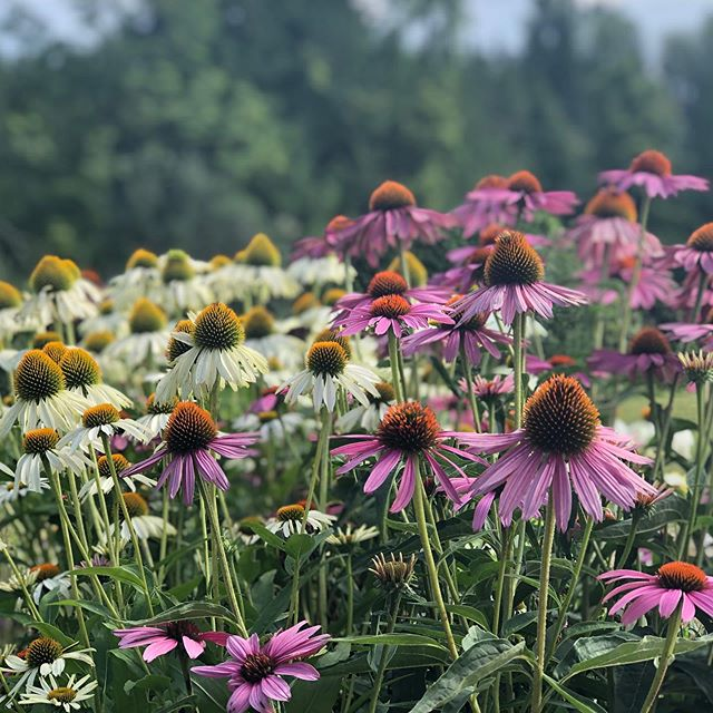 Still dreaming of summer days spent watching flowers bloom. Like these tall and beautiful coneflowers. 🤩  #flowers #coneflowers #coneflowersofinstagram #travelgram