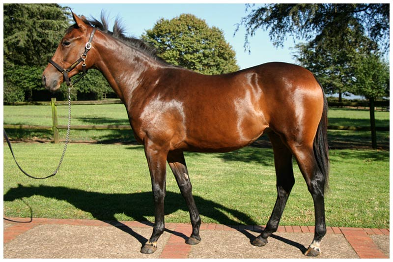 KZN Yearling Sale - Lot 219 - Down Sir Down - Count Dubois - Feather Bed