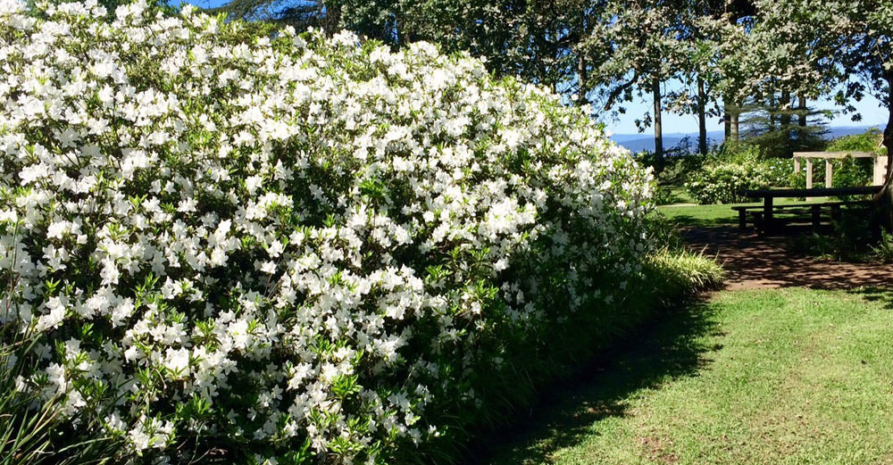 beautiful azaleas