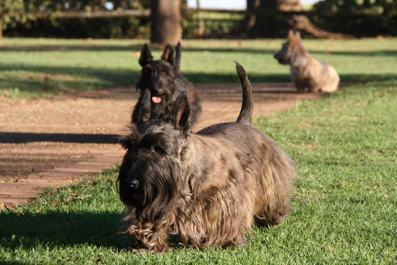 scottie-dogs-2.jpg