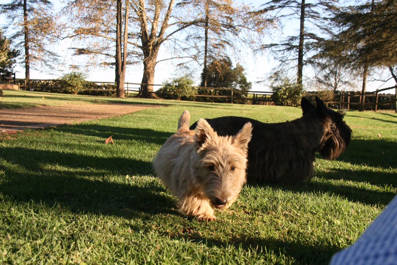 scottie-dogs-3.jpg