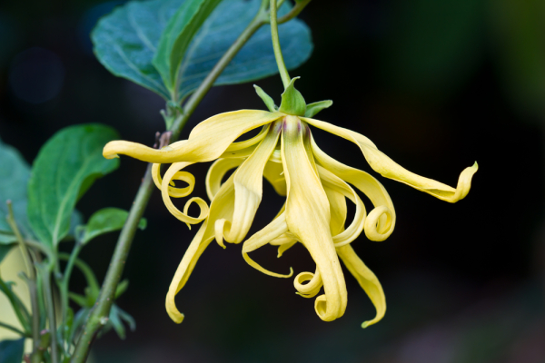 the-legend-of-ylang-ylang.jpg